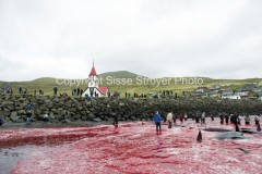 Grind Whale hunt, Faroe Islands