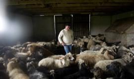 Shepherd looking for lambs among the sheeps